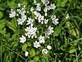 Allium neapolitanum 2.jpg