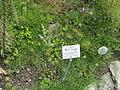 Allium oreophilum - Botanischer Garten, Frankfurt am Main - DSC02631.JPG