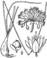 Allium stellatum drawing.png
