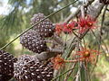 Allocasuarina distyla cones and flowers 1.jpg