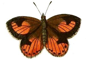 Aloeides - A. pierus