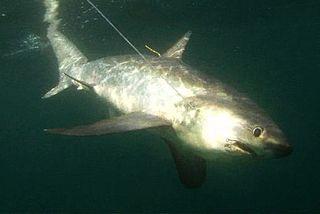 Common thresher species of shark (Alopias vulpinus)