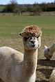 Alpaca in The Rodings, Essex, England 10.jpg