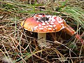 Amanita muscaria found on Sobieszewo Island in northern Poland October 2009 photo 4.jpg