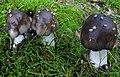 Amanita submaculata Peck 342558.jpg