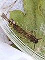 Ameletid mayfly, Ameletus subnotatus (26214452501).jpg