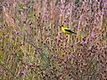 American Goldfinch in thistle.JPG