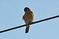 American Kestrel (Falco sparverius) (16354773551).jpg