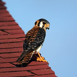 American Kestrel in Antigua (4805444989).jpg