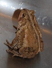 American Toad 8642.jpg