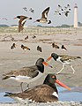 American oystercatcher From The Crossley ID Guide Eastern Birds.jpg