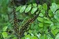 Amorpha nitens (1).jpg