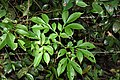Amorphophallus sylvaticus-കാട്ടുചേന.jpg