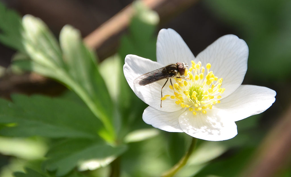 fleur et abeille l'anémone sylvie