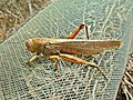 Anacridium aegyptium (Acrididae) (Egyptian Grasshopper) - (imago), Narbolia (comuni), Italy.jpg