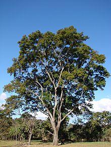 Anadenanthera colubrina tree.jpg