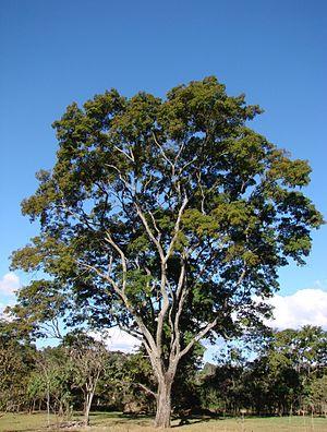 Anadenanthera colubrina - Image: Anadenanthera colubrina tree