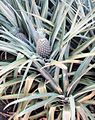 Ananas pflanze.jpg