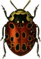 Anatis ocellata Jacobson.png