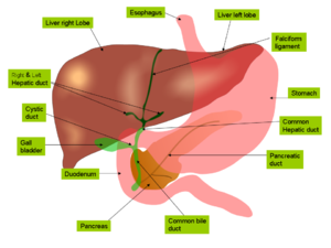Anatomy of the biliary tree, liver and gall bl...