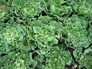 eenjarig bladgewas uit de composietenfamilie
