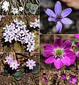 Anemone hepatica var. japonica color variation.JPG