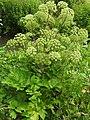 Angelica archangelica RF.jpg