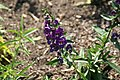 Angelonia angustifolia Angelface Blue 4zz.jpg