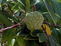 Annona squamosa (custard apple) fruit 03.JPG