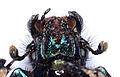Anoplotrupes stercorosus 9159 head.jpg
