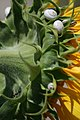 Ant on sunflower with snail.jpg