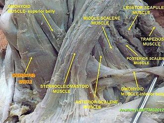 Sternohyoid muscle - Image: Anterior region of neck (9)