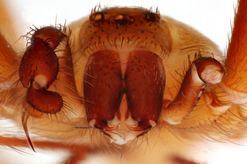 File:Anterior view of Loxosceles reclusa (Brown Recluse Spider) (22830337766).jpg