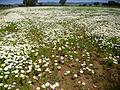 Anthemis vulgaris ValleAlcudia 2013-4-14 SierraMadrona.jpg