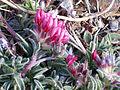 Anthyllis vulneraria subsp. pseudoarundana InflorescenceCloseup 2009July25 SierraNevada.jpg