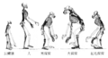Ape skeletons (zh).png
