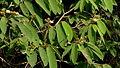 Apeiba albiflora Ducke (9090557709).jpg