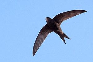 Unihemispheric slow-wave sleep - Common swift