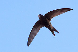 International Swift Conference - A Common Swift flying in Barcelona, Spain