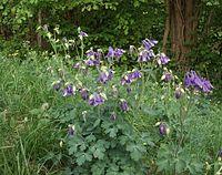 Aquilegia vulgaris 100503b