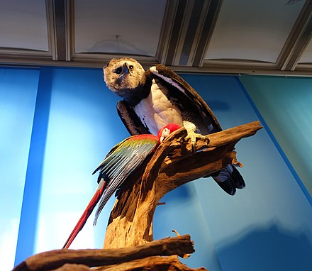 A stuffed specimen of a Harpy eagle preying on a macaw at the Museum fur Naturkunde, Berlin Ara and Harpia stuffed specimens Berlin 21.jpg