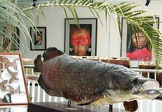 <i>Arapaima</i> Genus of large, Amazonian bonytongue fish
