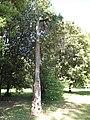 Arboretum des barres-juniperus chinensis-trunk.JPG