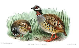 Malaysian partridge - Image: Arboricola Campbelli Goodchild