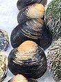 Arctica islandica seafood.jpg