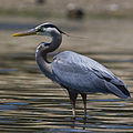 Ardea herodias, Coleman Beach - by Mike Baird (cropped).jpg