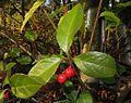 Ardisia japonica 4.JPG