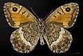 Arethusana arethusa MHNT CUT 2013 3 32 Villegailhenc male ventral.jpg