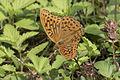 Argynnis paphia - Cengaver 06.jpg