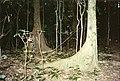 Argyrodendron actinophyllum and Argyrodendron trifoliolatum - Toonumbar National Park.jpg